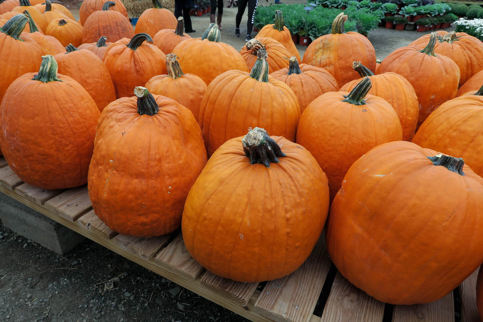 orange-pumpkins-large-farm-fall