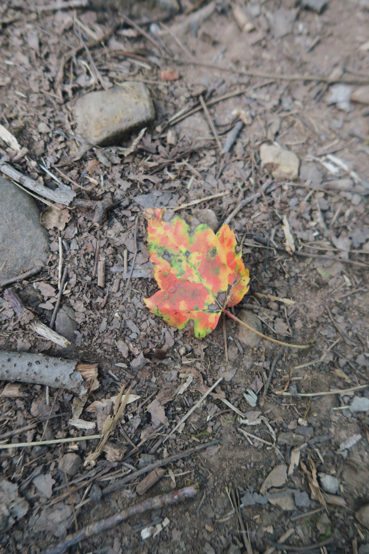 color changing leaf on the ground
